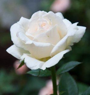 white-flowers4
